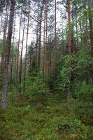 ヨーロッパアカマツの林
